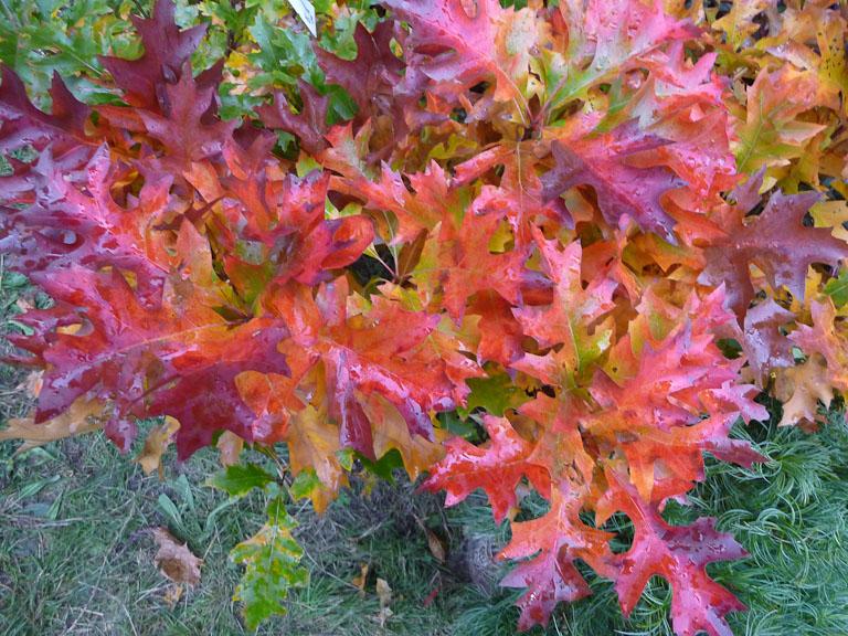 Quercus palustris 'Green Dwarf', Pépinières Philippe Leclercq, Journées des Plantes de Courson (Essonne), automne