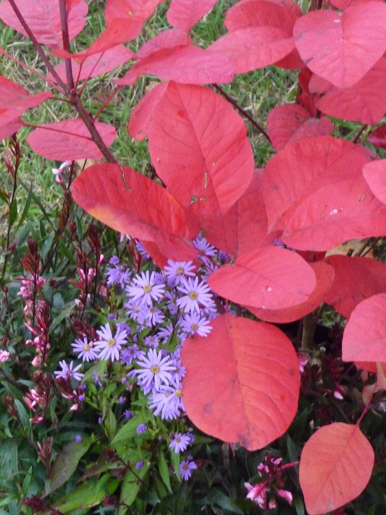 Aster d'automne et arbre aux perruques (Cotinus 'Grace'), Journées des Plantes de Courson (Essonne), automne