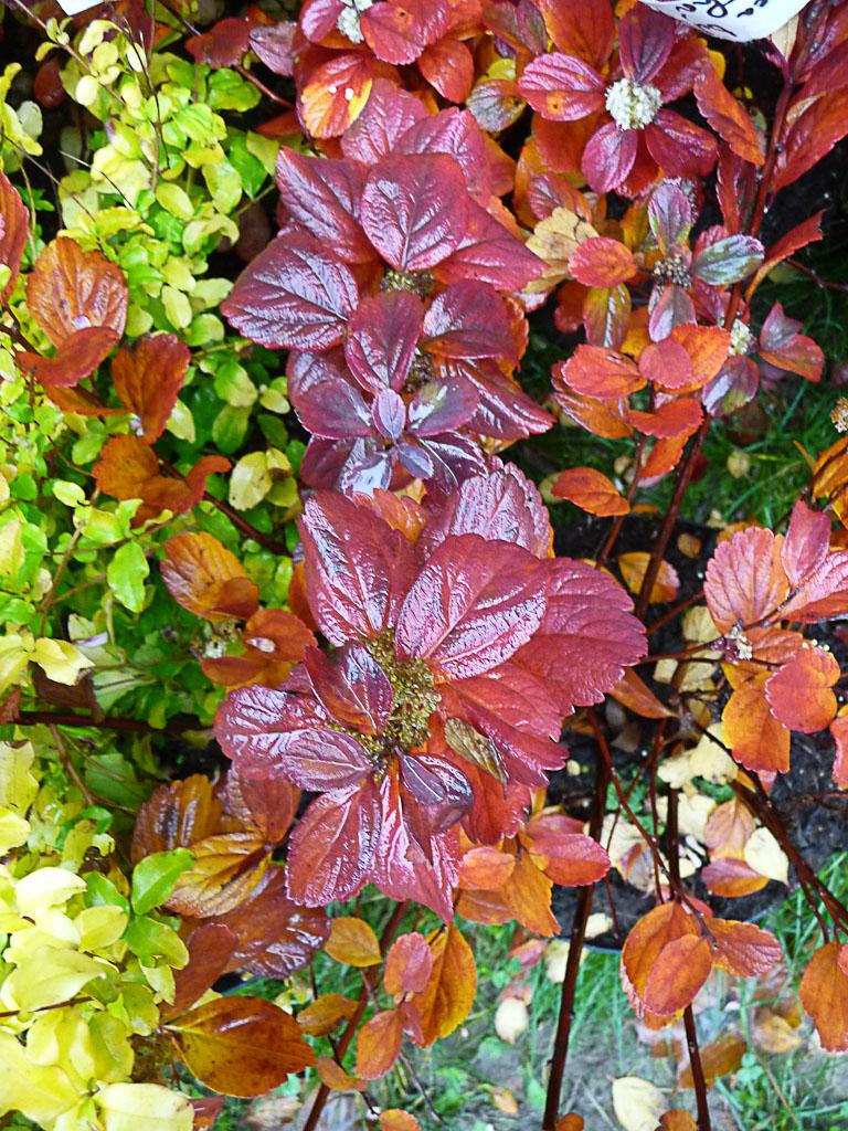 Feuillage d'automne de la spirée à feuilles de bouleau 'Thor' (Spiraea betulifolia 'Thor'), Pépinières Philippe Leclercq, Journées des Plantes de Courson