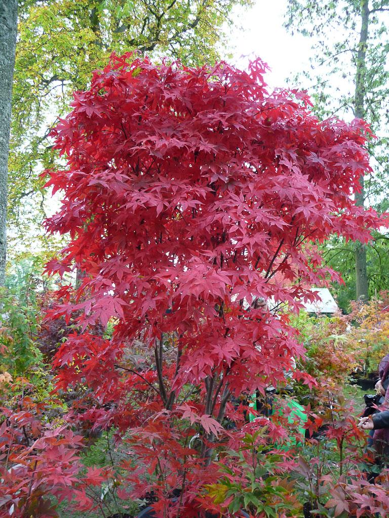 Érable du Japon (Acer palmatum) avec des couleurs d'automne flamboyantes, CECE, Journées des Plantes de Courson