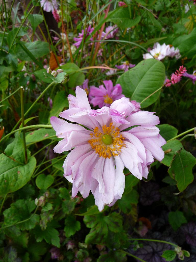 Anémone 'Mount Rose', Promesse de Fleurs Schryve Jardin, Journées des Plantes de Courson (Essonne)