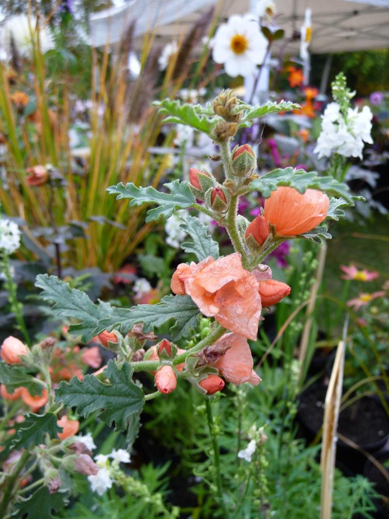 Sphaeralcea 'Newleaze Coral', Malvacées, Ferdinandushof, Journées des Plantes de Courson (Essonne)