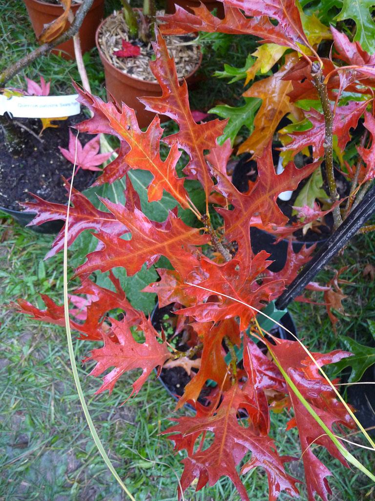 Quercus palustris 'Swamp Pygmy', Pépinières Le Jardin du Pic Vert, Journées des Plantes de Courson (Essonne), automne