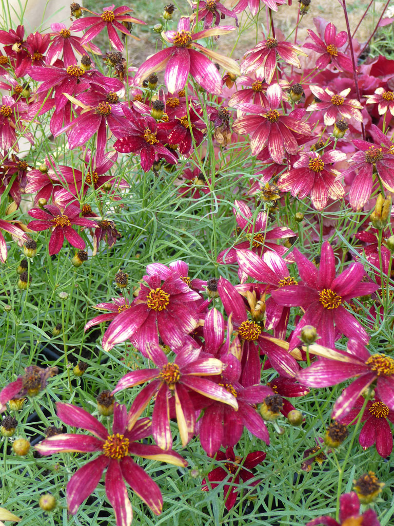 Coreopsis 'Route 66'