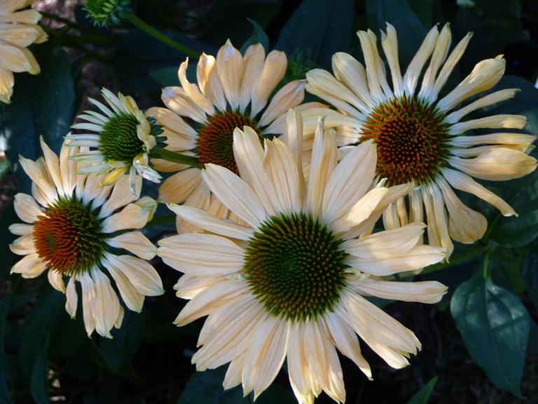 Echinacea 'Aloha', Hostafolie, Fête des Plantes, Fruits et Légumes d'hier et d'aujourd'hui