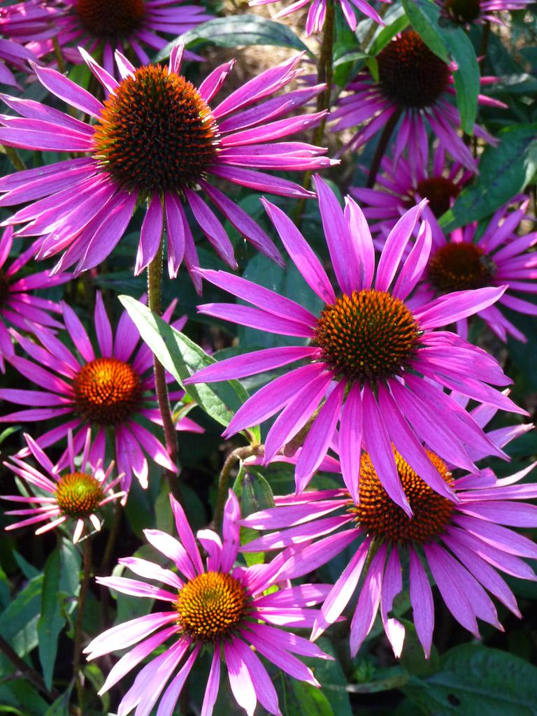 Echinacea 'Pica Bella', Hostafolie, Fête des Plantes Fruits et Légumes d'hier et d'aujourd'hui, Domaine de Saint-Jean de Beauregard (91)