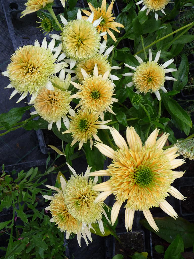 Echinacea 'Buttercup', Le Châtel des Vivaces, Fête des Plantes Fruits et Légumes d'hier et d'aujourd'hui, Domaine de Saint-Jean de Beauregard (91)