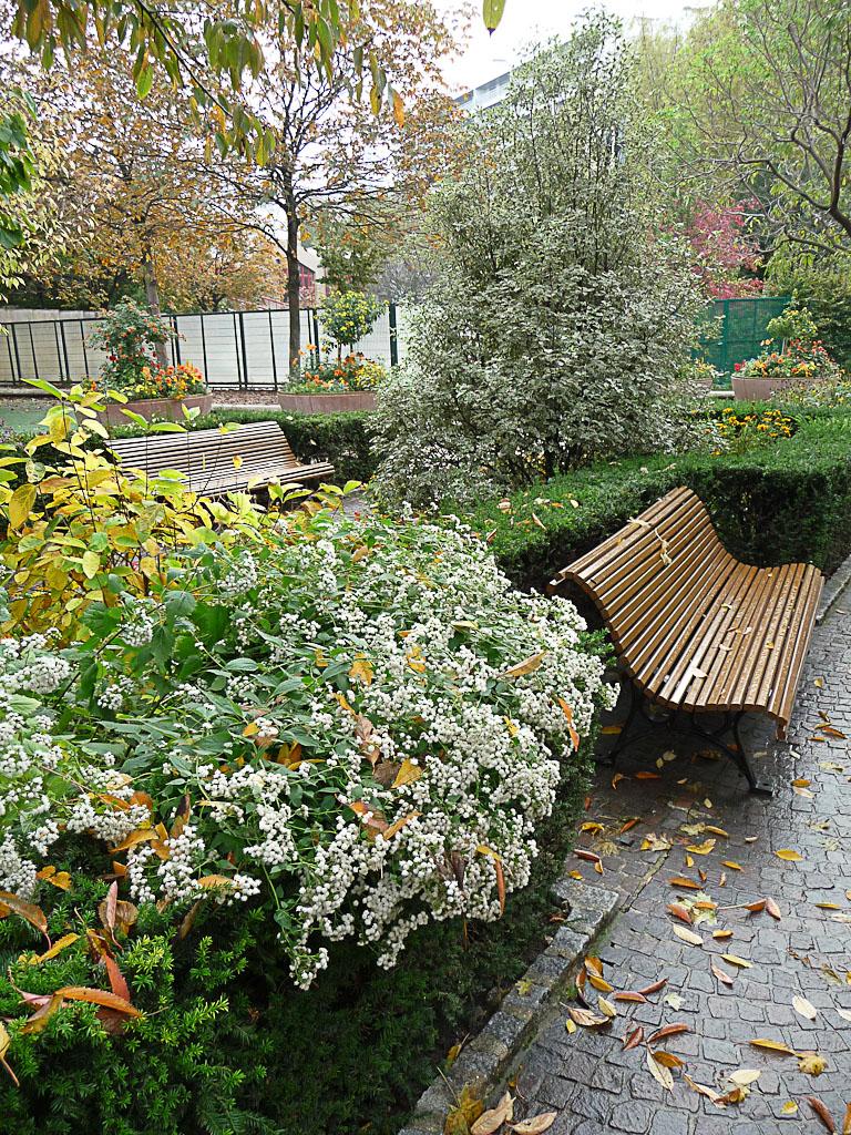 Eupatoire rugueuse (Ageratina altissima) en automne dans le square Henri Collet, Paris 16e (75)