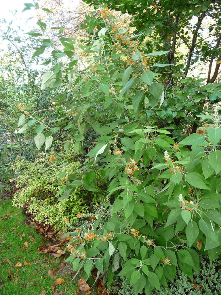 Arbuste à floraison orange en automne dans les jardins du Champs de Mars, Paris 7e (75)