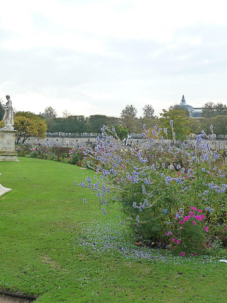 Grosse touffe de sauge des marais (Salvia uliginosa) dans les parterres du Jardin des Tuileries en automne, Paris 1er (75)