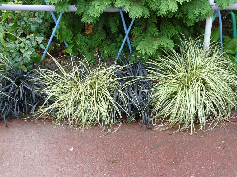 Bordure végétale composée d'une alternance de carex et d'ophiopogons dans le parc Gustave Eiffel, Levallois (92)