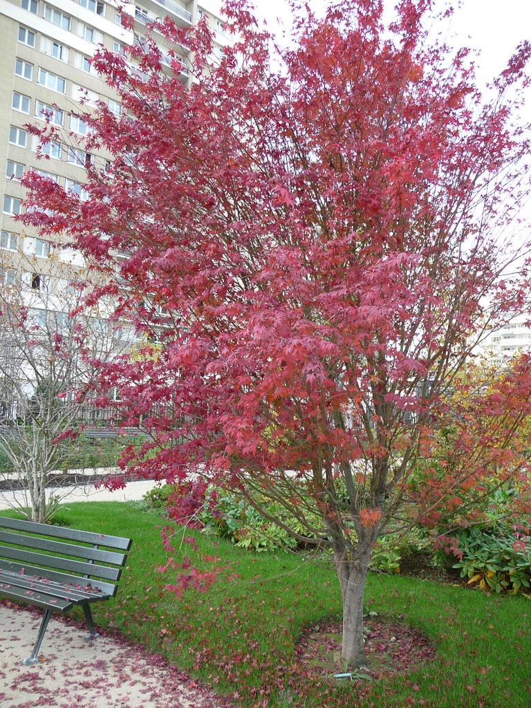 Érable avec son feuillage d'automne écarlate dans le parc Alsace, Levallois (92)