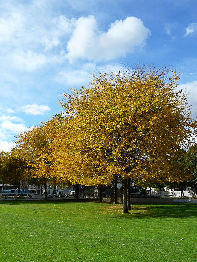 Féviers d'Amérique (Gleditsia triacanthos) avec leurs couleurs d'automne dans le parc de la Villette, Paris 19e (75)