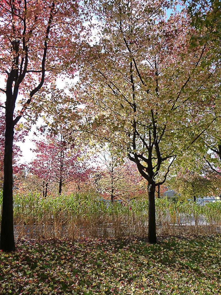 Liquidambars aux couleurs d'automne dans le jardin du Dragon, parc de la Villette, Paris 19e (75)