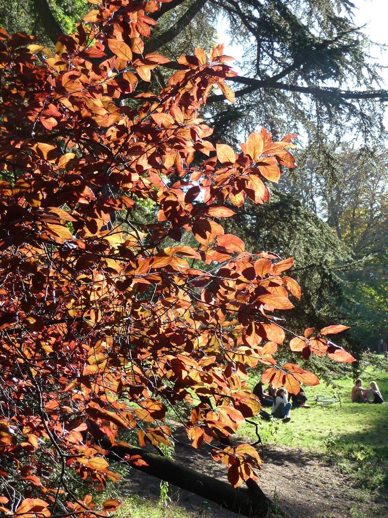 Soleil traversant le feuillage du prunier de Pissard (Prunus cerasifera 'Pissardii'), Parc des Buttes-Chaumont, Paris 19e (75)