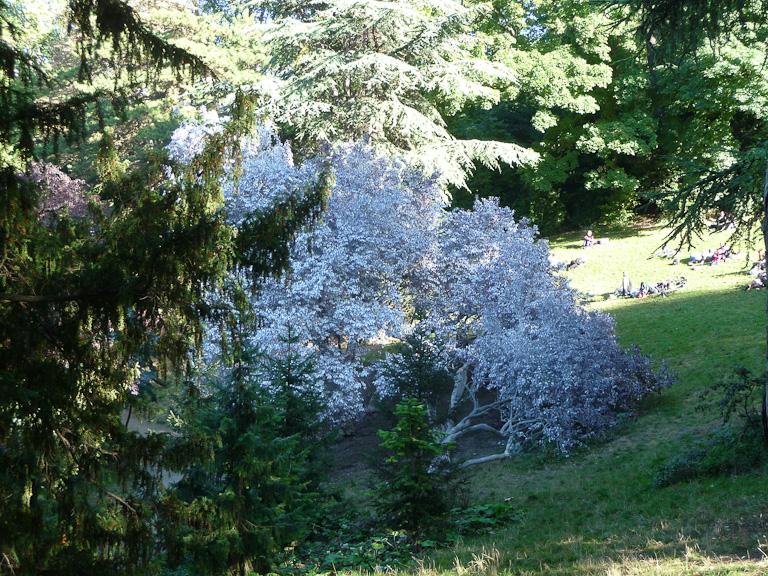 Prunus blanchis dans le parc des Buttes-Chaumont, Paris 19e (75)