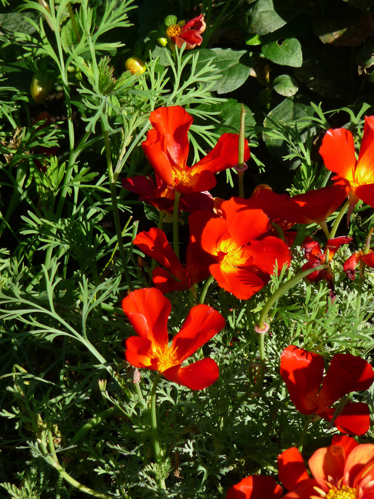 Pavot de Californie rouge (Eschscholtzia californica 'Red Chief'), Parc des Buttes-Chaumont, Paris 19e (75)