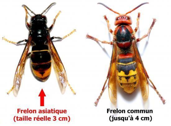 Frelon commun et frelon asiatique / CG86