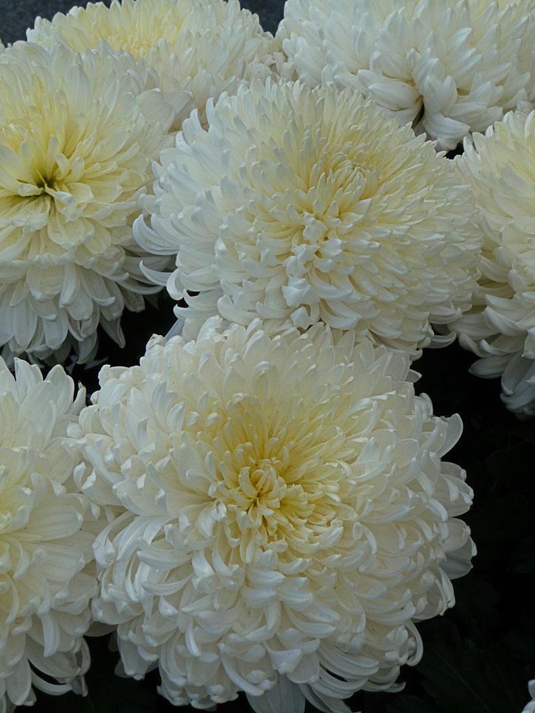 Grosse potée de chrysanthème blanc dans le cimetière du Père Lachaise le jour de la Toussaint, Paris 20e (75)