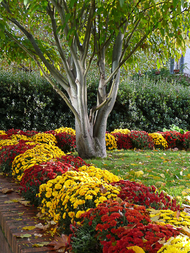 Parterres de chrysanthèmes dans le parc de Bercy en automne, Paris 12e (75)