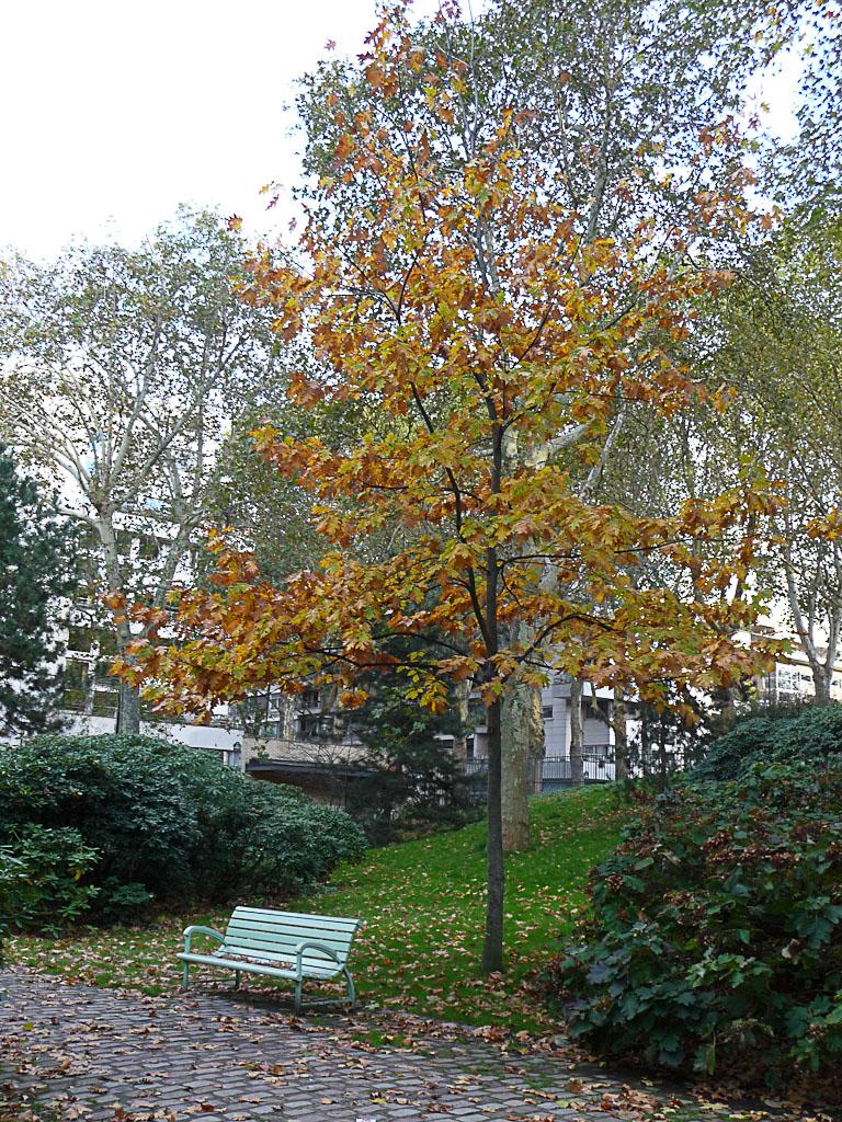 Banc sous un chêne américain avec son feuillage d'automne dans le parc de Bercy, Paris 12e (75)