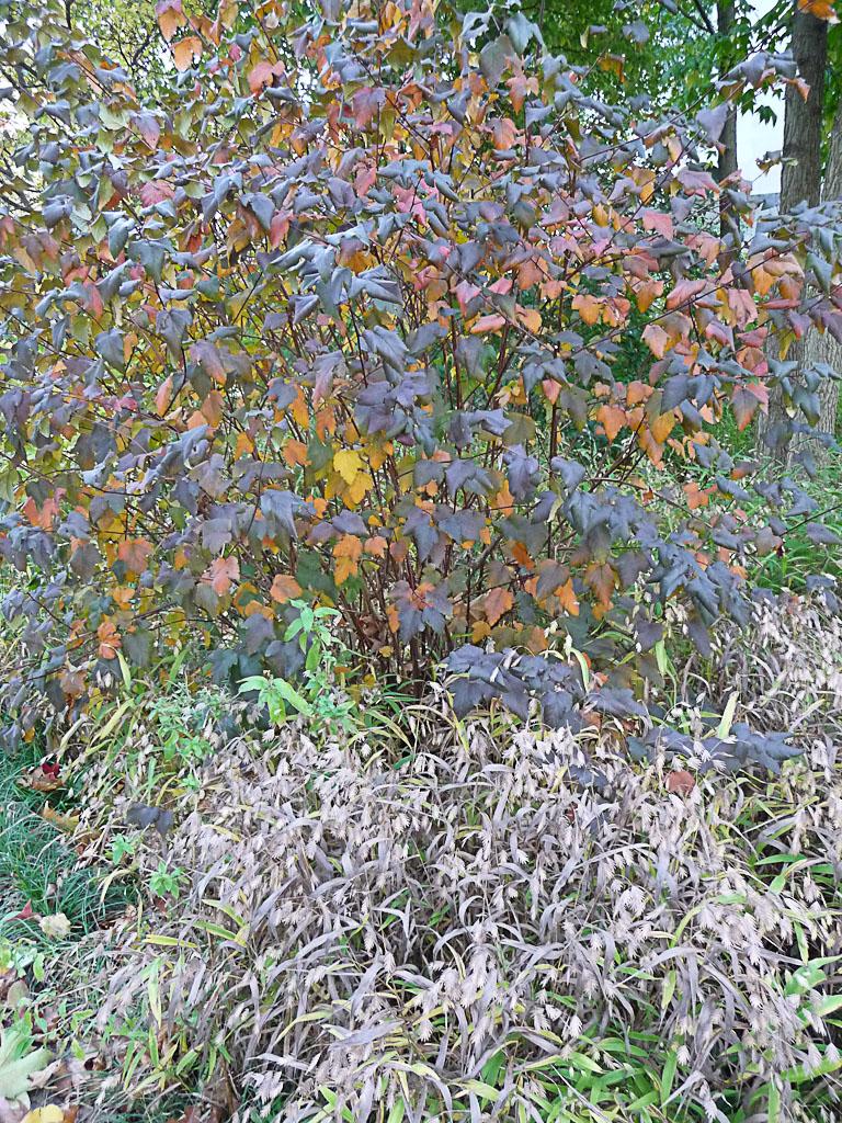 Physocarpus et Chasmanthium latifolium en automne dans le Parc de Bercy, Paris 12e (75)