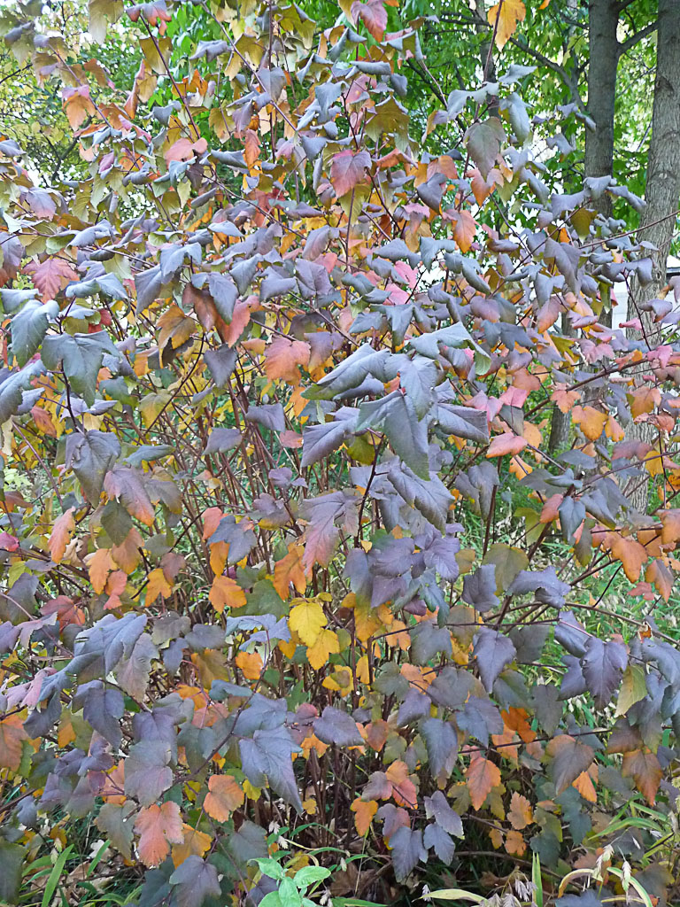 Physocarpus en automne dans le Parc de Bercy, Paris 12e (75)