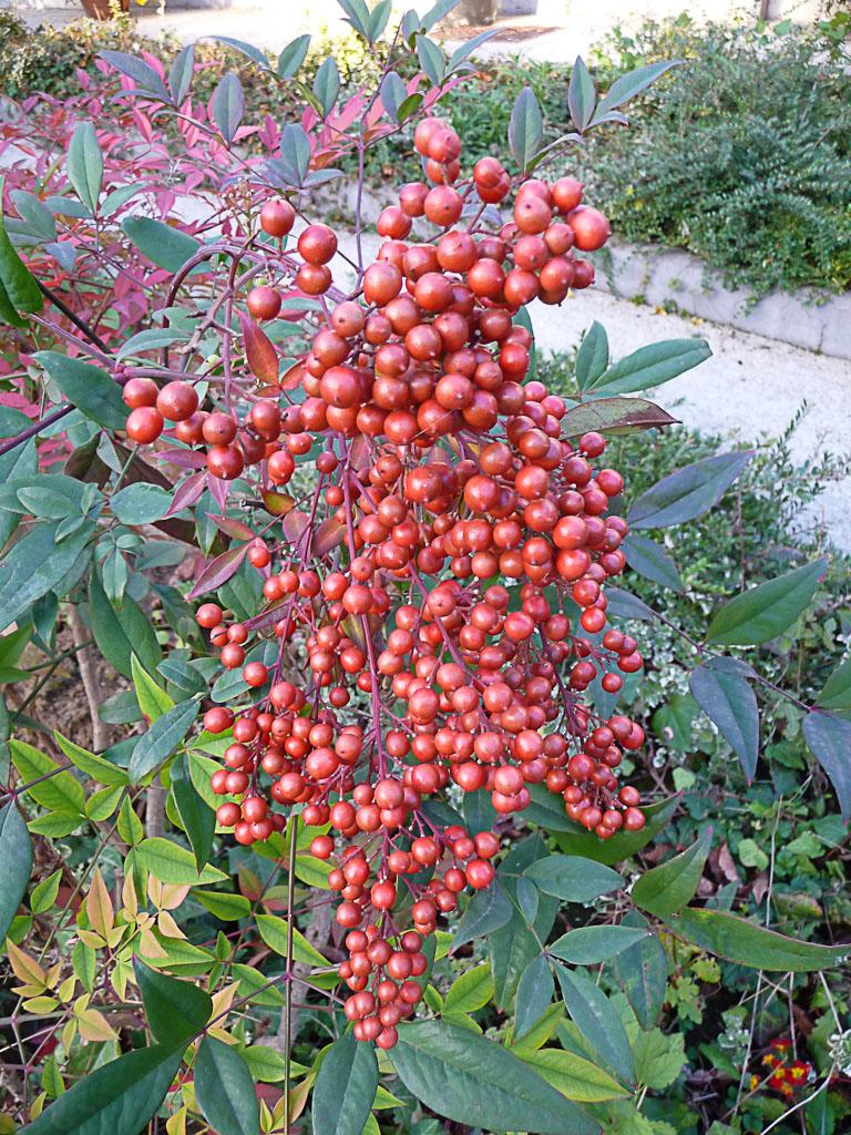 Grappe de baies rouge vif d'un bambou sacré (Nandina domestica), cimetière du Père Lachaise en automne, Paris 20e (75)