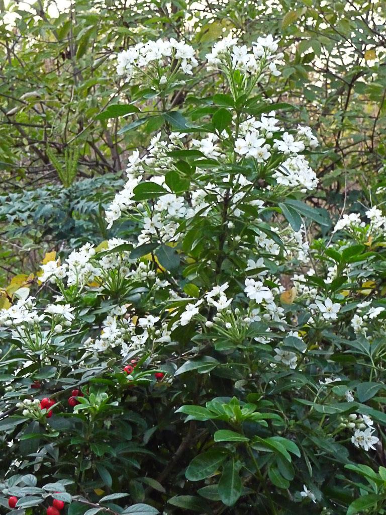Oranger du Mexique en pleine floraison dans le cimetière du Père Lachaise en automne, Paris 20e (75)