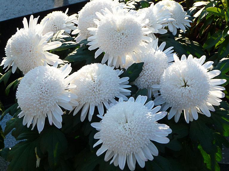 Potée de chrysanthème alvéolé blanc dans le cimetière du Montparnasse en automne, Paris 15e (75)