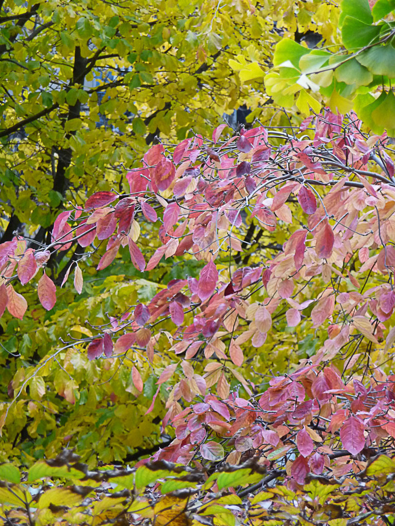 Feuillages d'automne de Parrotia dans le Jardin du Luxembourg en automne, Paris 6e (75)