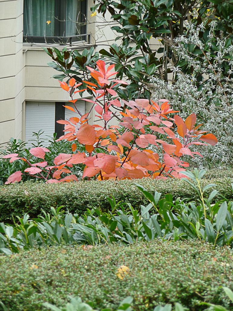 Arbre à perruque (Cotinus) avec son feuillage d'automne dans le Parc de Passy, Paris 16e (75)