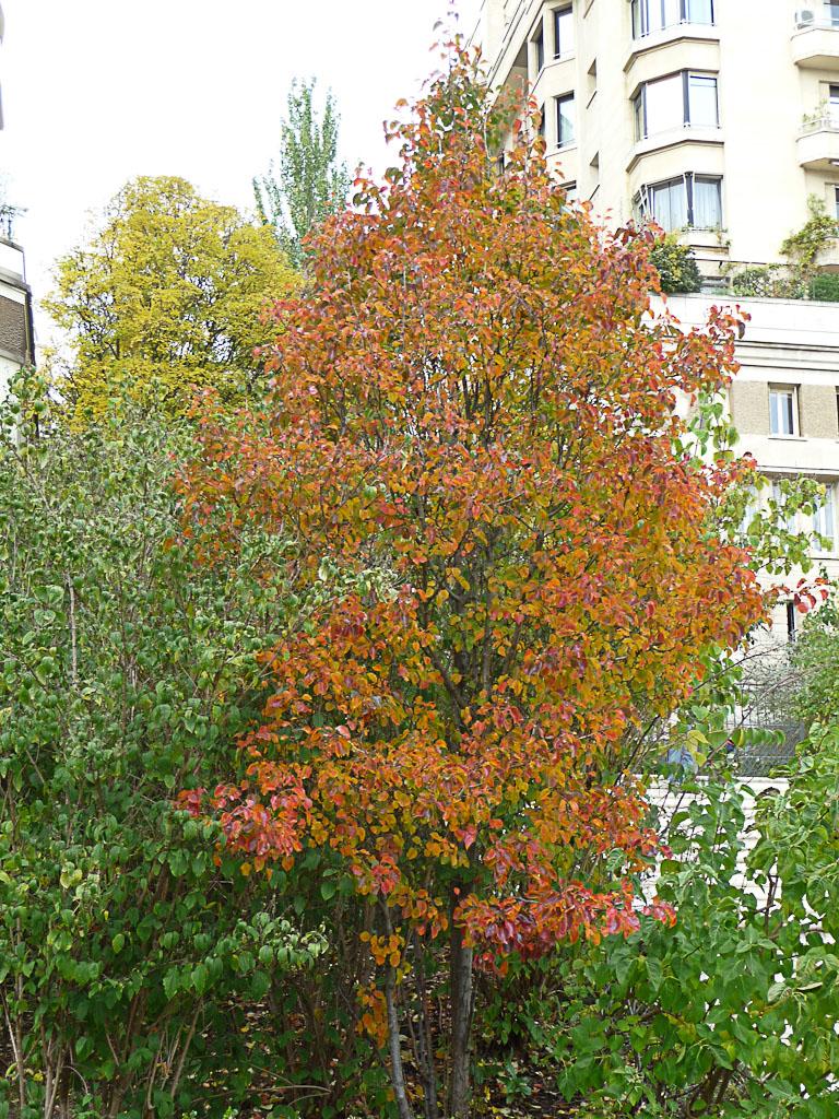 Pyrus calleryana Chanticleer avec ses couleurs d'automne dans le Parc de Passy, Paris 16e (75)