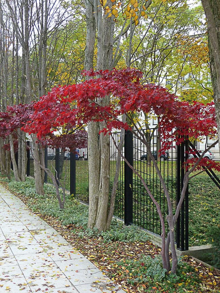 Érable rougeoyant dans le Parc André Citroën en automne, Paris 15e (75)