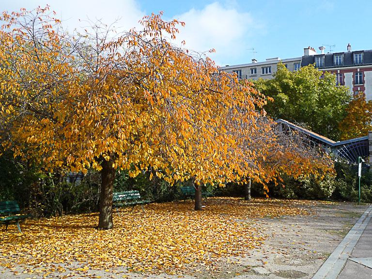 Cerisier à fleurs avec le feuillage doré en automne, Parc Georges Brassens, Paris 15e (75)