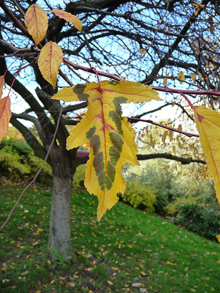 Feuille d'arbre aux couleurs d'automne insolites, Parc Georges Brassens en automne, Paris 15e (75)