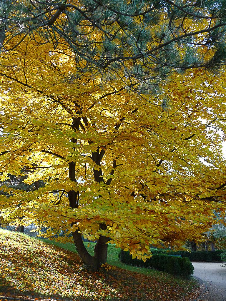 Arbre au feuillage d'automne doré, Parc Georges Brassens, Paris 15e (75)