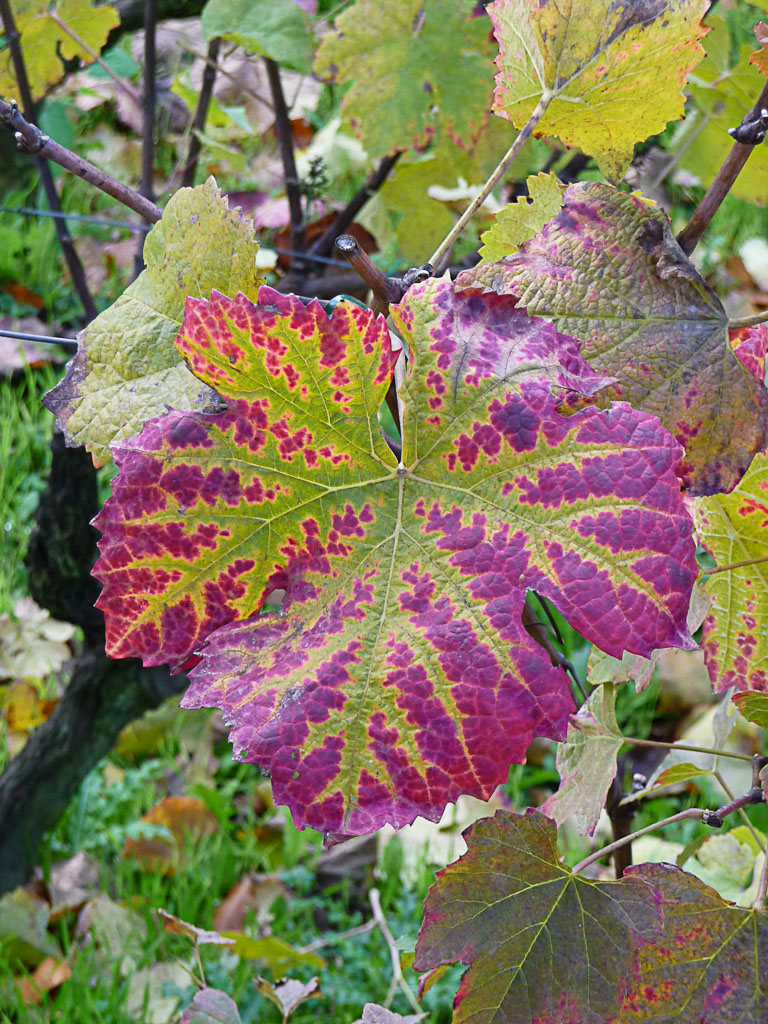 Feuille de vigne avec des couleurs d'automne dans le Parc Georges Brassens, Paris 15e (75)