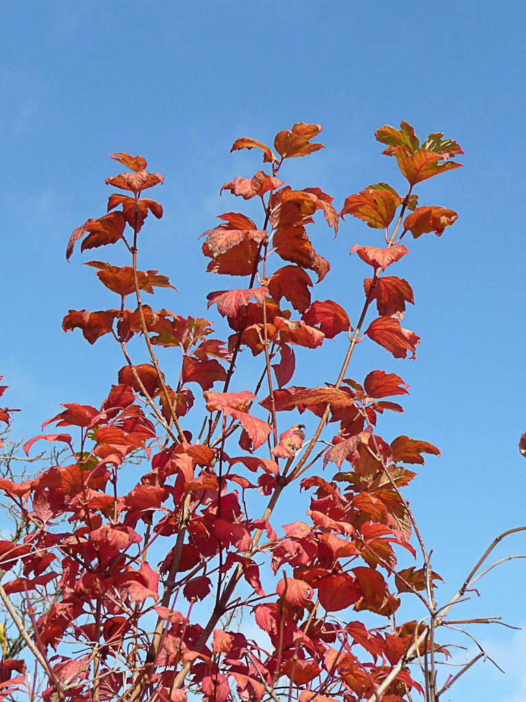 Viorne (Viburnum) au feuillage rouge dans le Parc Georges Brassens en automne, Paris 15e (75)