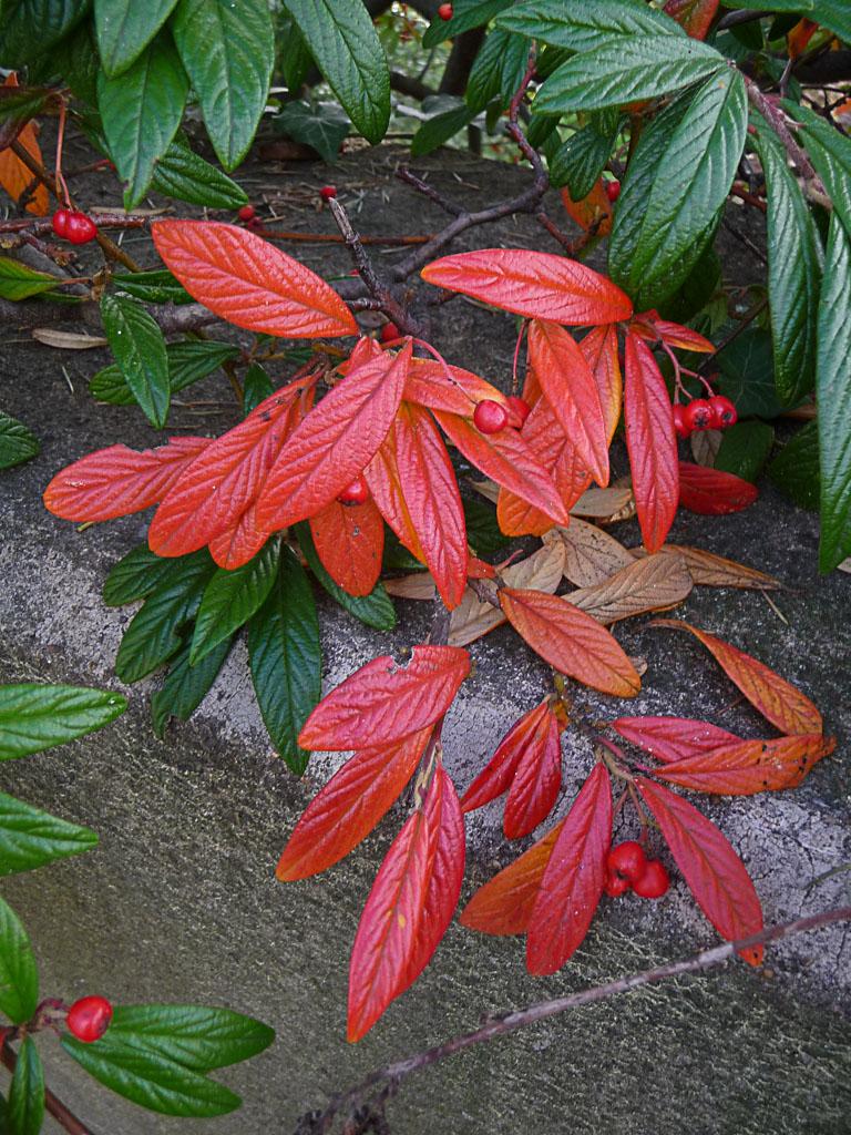 Cotoneaster avec des couleurs d'automne dans le Parc Montsouris en automne, Paris 14e (75)