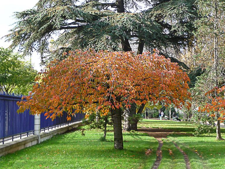 Cerisier d'ornement pleureur dans le Parc Montsouris en automne, Paris 14e (75)