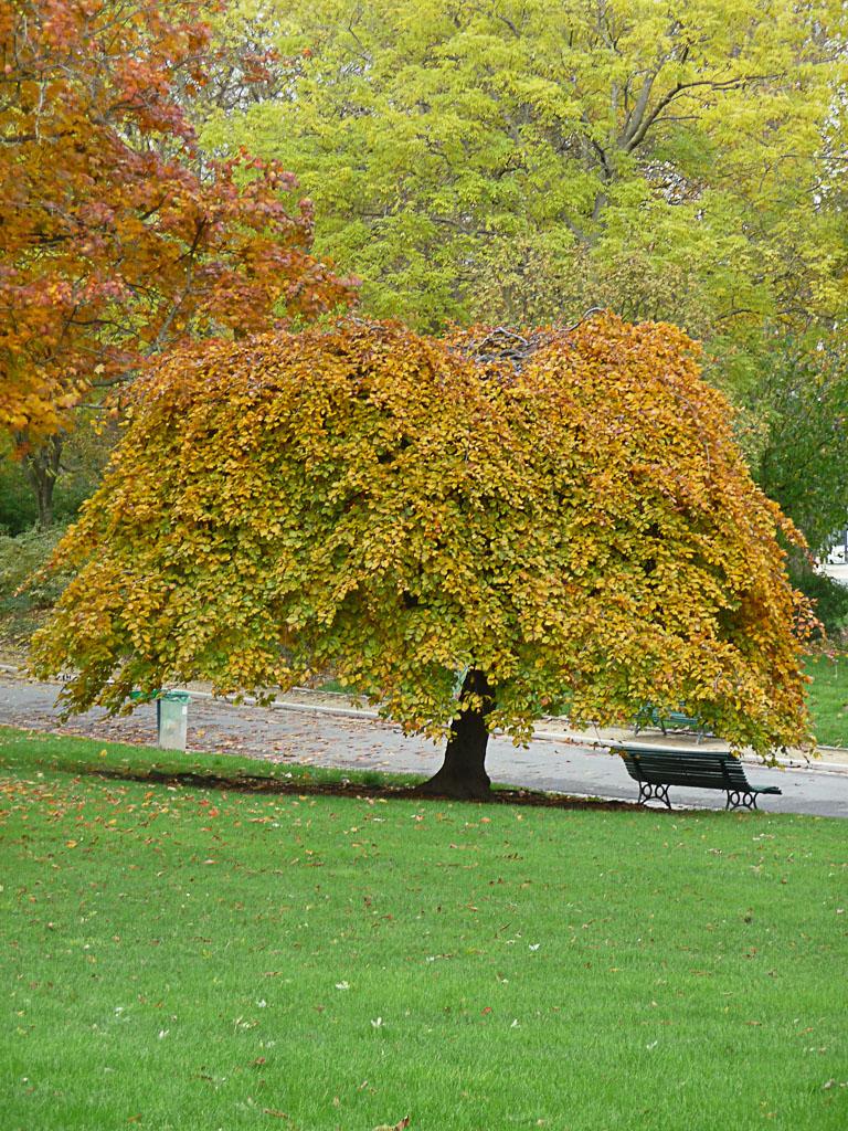 Hêtre pleureur dans le Parc Montsouris en automne, Paris 14e (75)