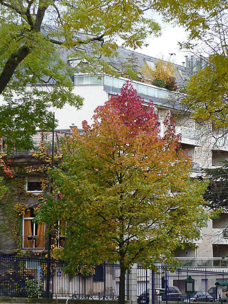 Copalme d'Amérique (Liquidambar styraciflua), Parc Montsouris en automne, Paris 14e (75)