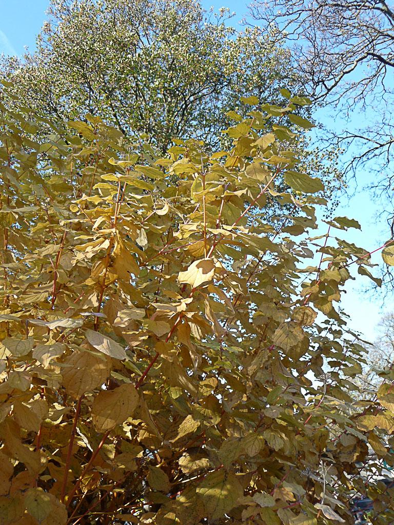 Feuillage doré d'un cornouiller dans le cimetière de Montmartre en automne par une belle journée ensoleillée, Paris 18e (75)