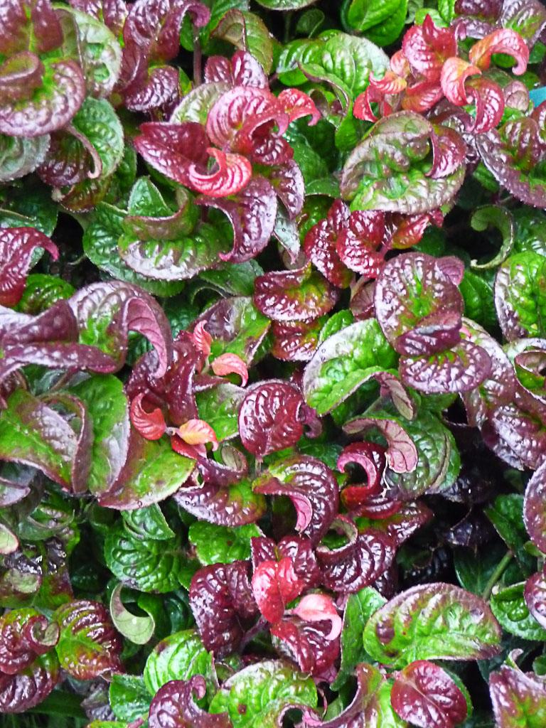 Leucothoe axillaris 'Curly Red', Pépinières de Beaufort, Journées des Plantes de Courson (Essonne), automne