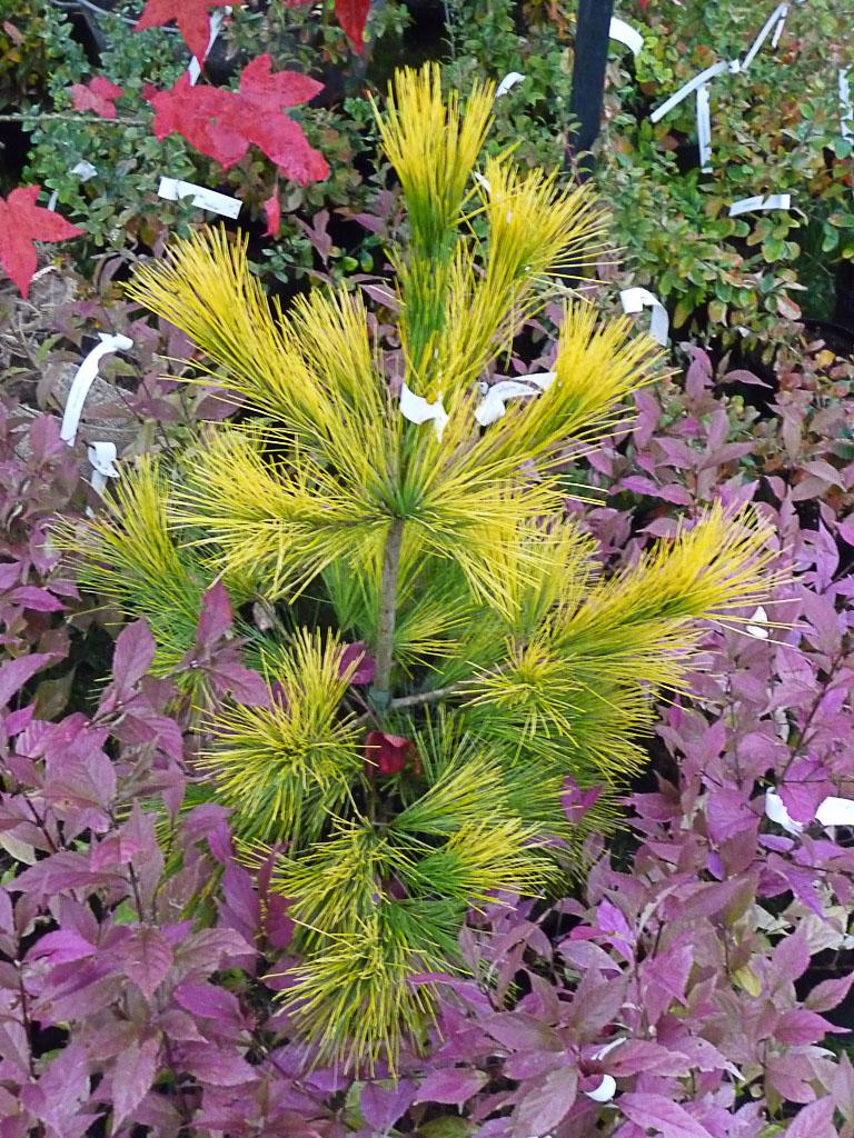 Pinus strobus 'Louie', Pépinière Jean-Pierre Hennebelle, Journées des Plantes de Courson (Essonne), automne