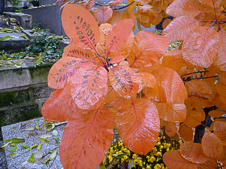 Cotinus avec un feuillage d'automne orangé dans le cimetière de Montmartre, Paris 18e (75)