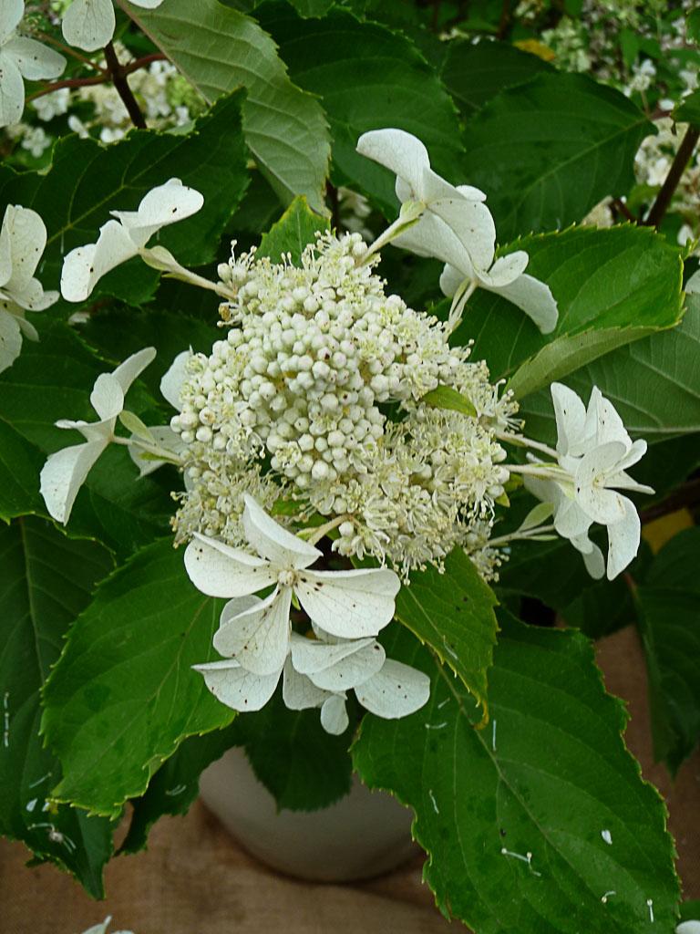 Hydrangea paniculata 'Levana', Promesse de Fleurs Schryve Jardin, Journées des Plantes de Courson