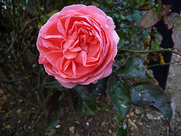 Rose en automne, Cap 18, Paris 18e (75)