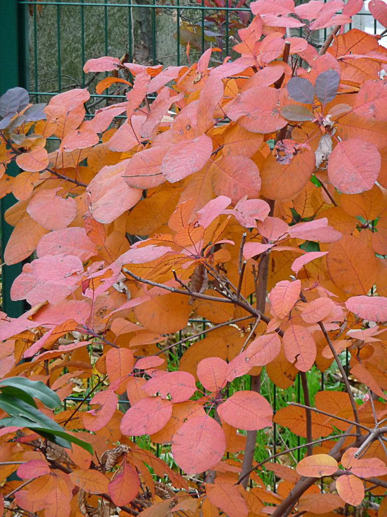 Cotinus en automne, Cap 18, Paris 18e (75)